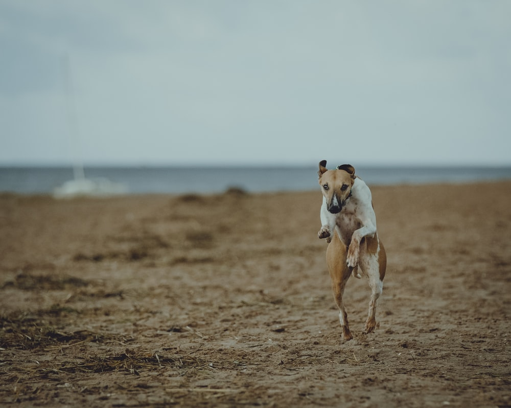 brown and white short coated dog running on brown field during daytime
