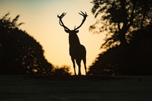 silhouette of deer standing on field during sunset