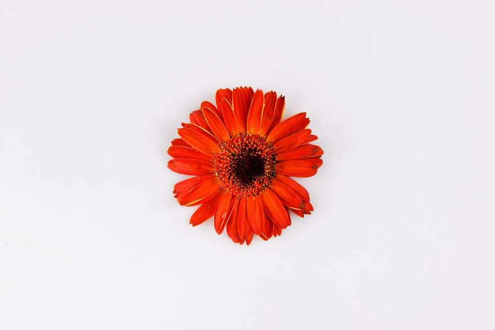 red and yellow flower in white background
