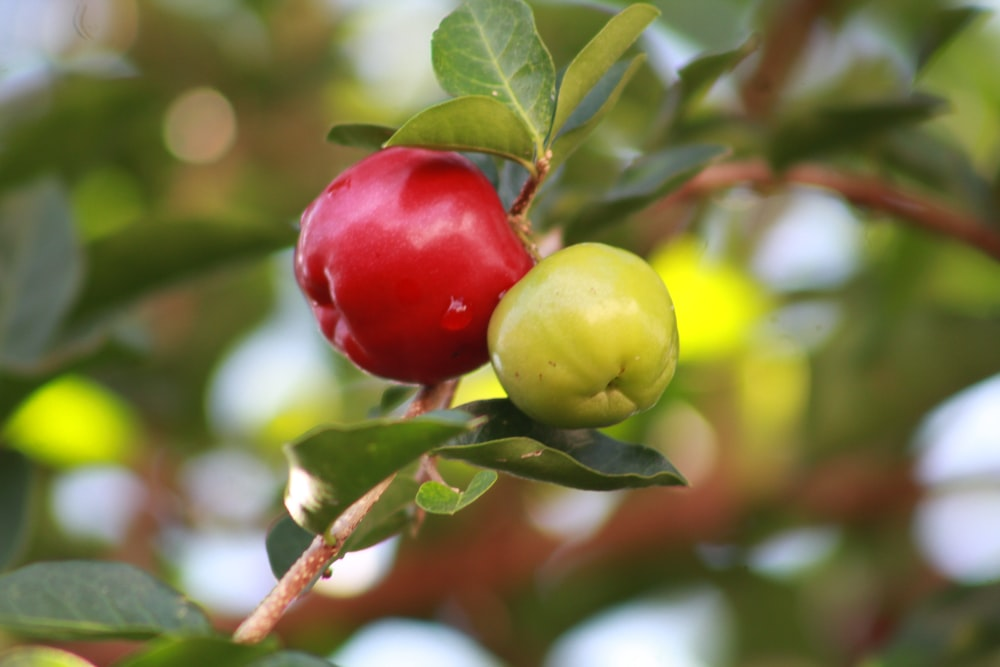 red and green round fruit