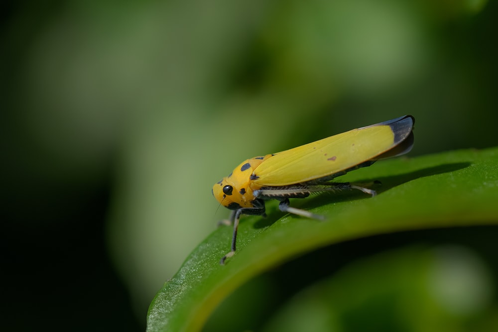 yellow and black grasshopper on green leaf in close up photography during daytime