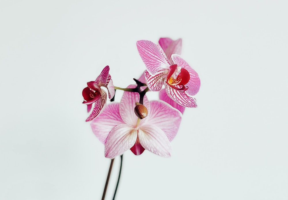 pink and white moth orchid in close up photography