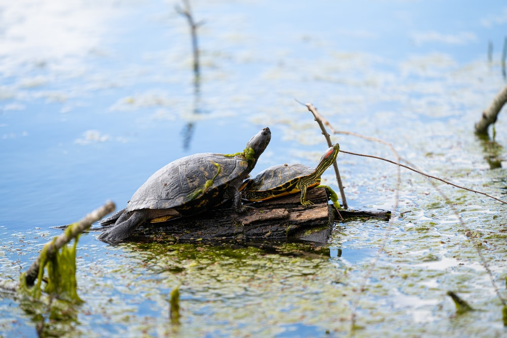 two turtles on body of water