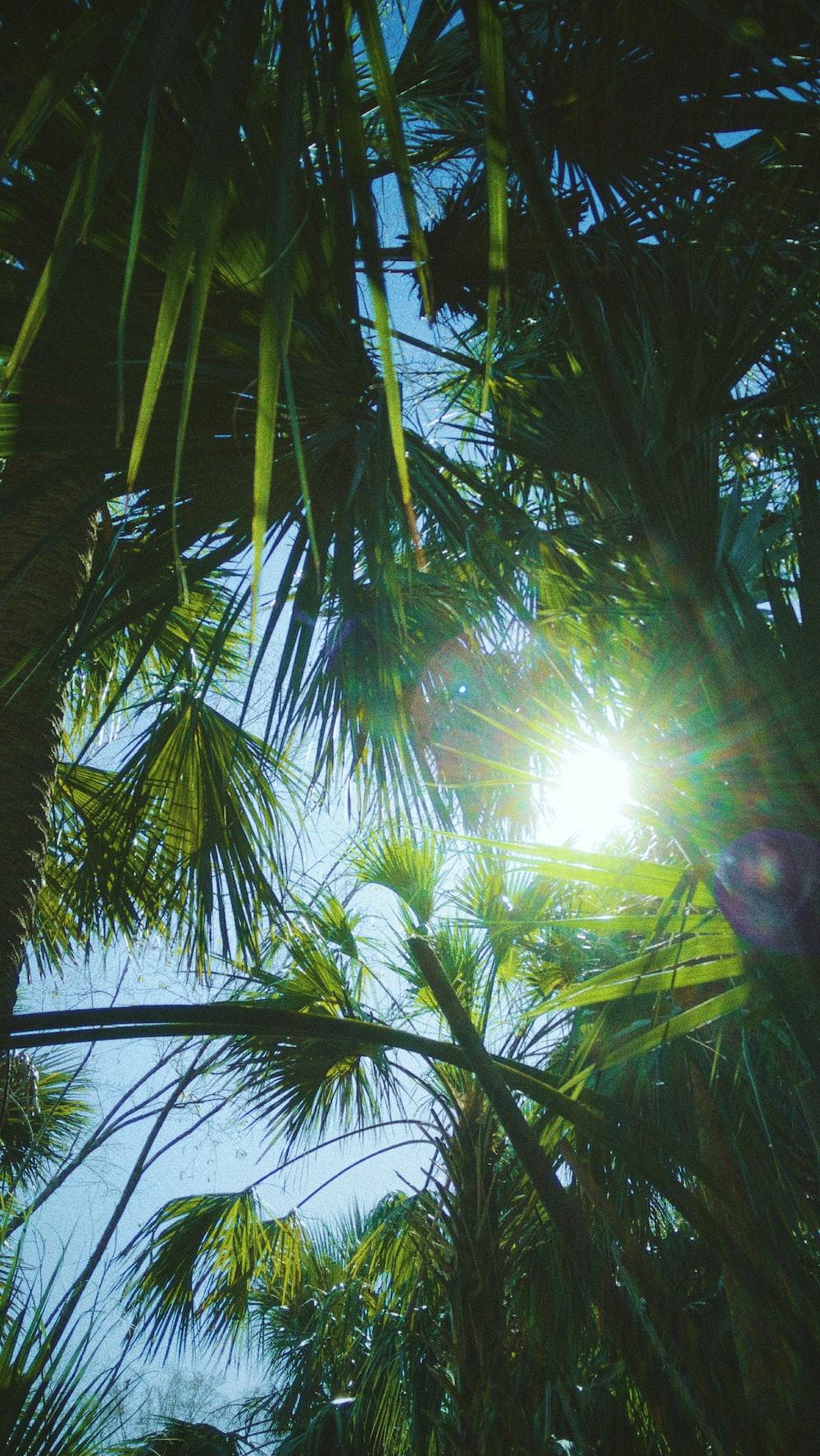 sun rays coming through green palm tree