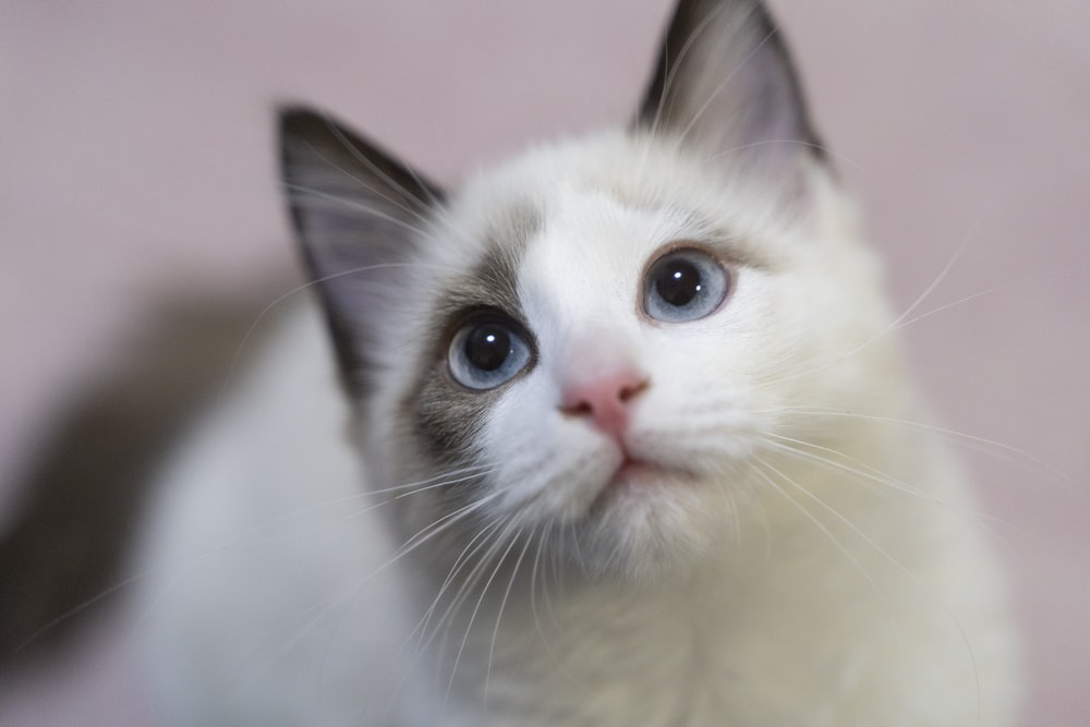 white and brown short fur cat