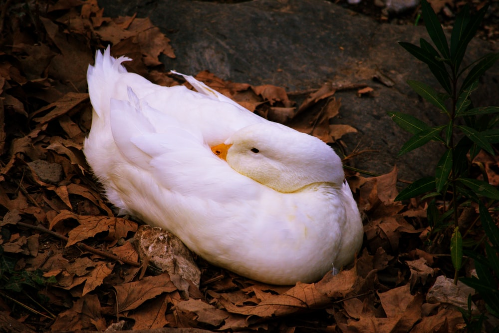white duck on brown dried leaves
