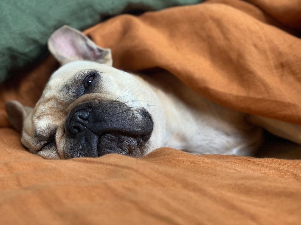 white and brown short coated dog lying on orange textile