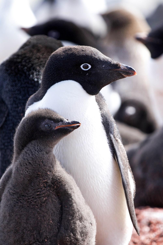 black and white penguins during daytime