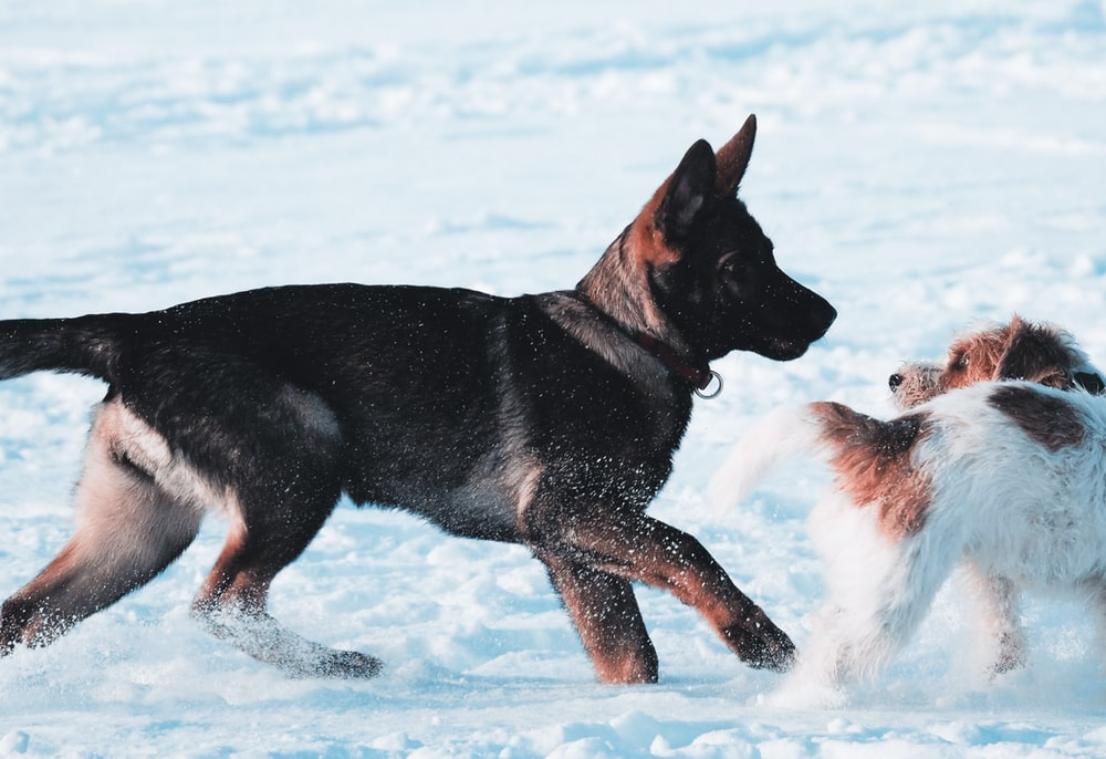 black and tan german shepherd puppy running on snow covered ground during daytime