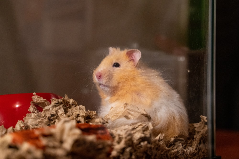 brown and white hamster on brown dried leaves