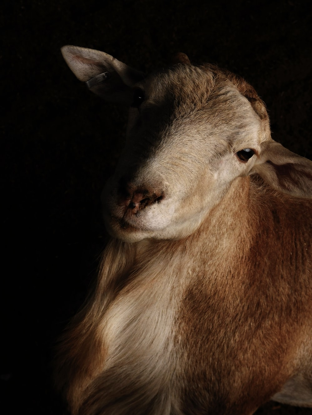 brown and white sheep with black background