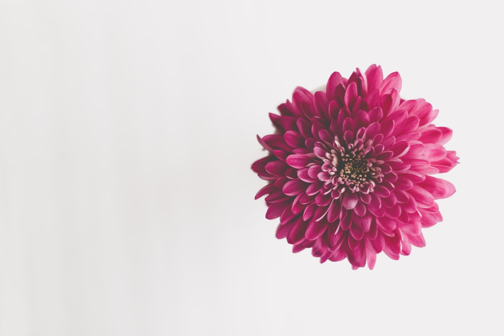 pink flower in white background
