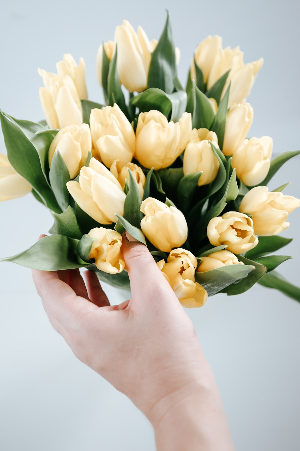 yellow tulips in persons hand