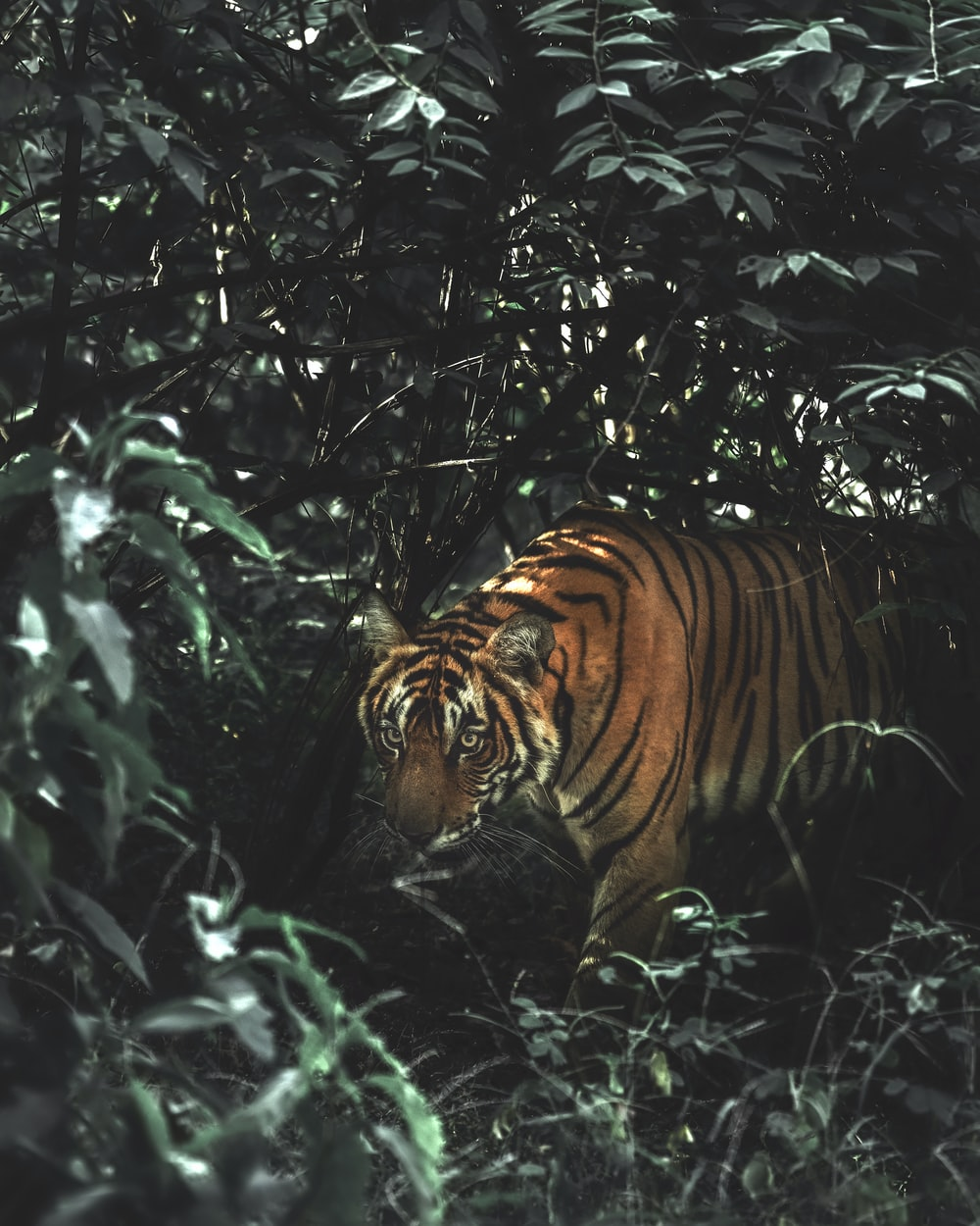tiger in forest during daytime