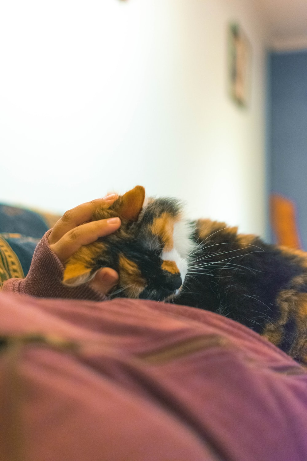 person holding calico cat on pink textile