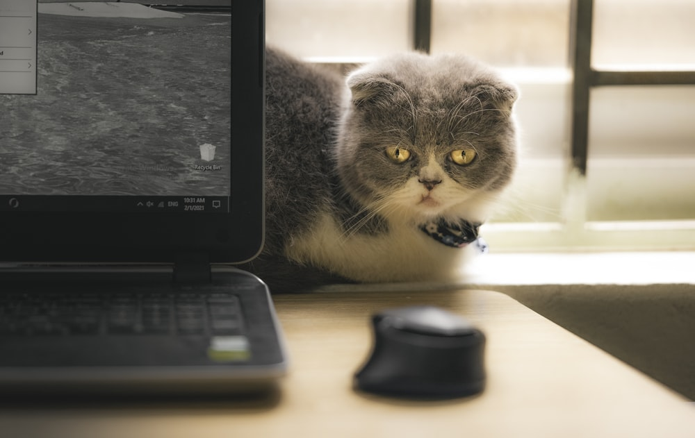 gray and white cat beside black laptop computer