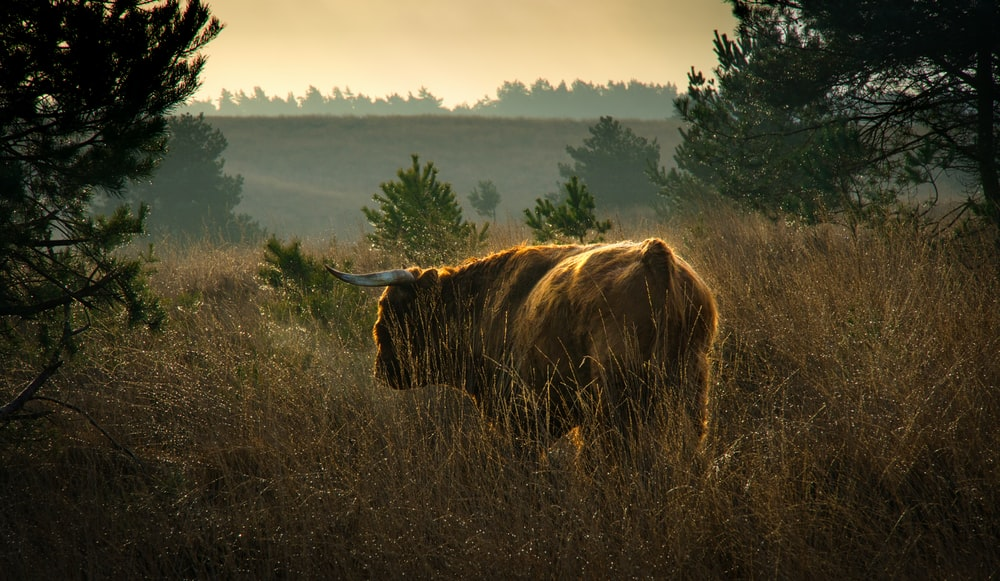 brown cow on brown grass field during daytime