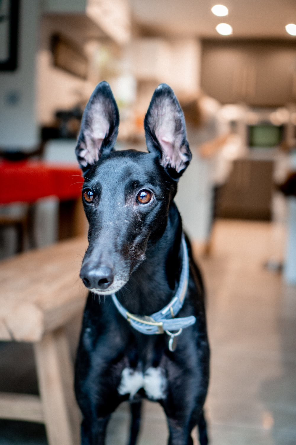black short coated dog with blue collar