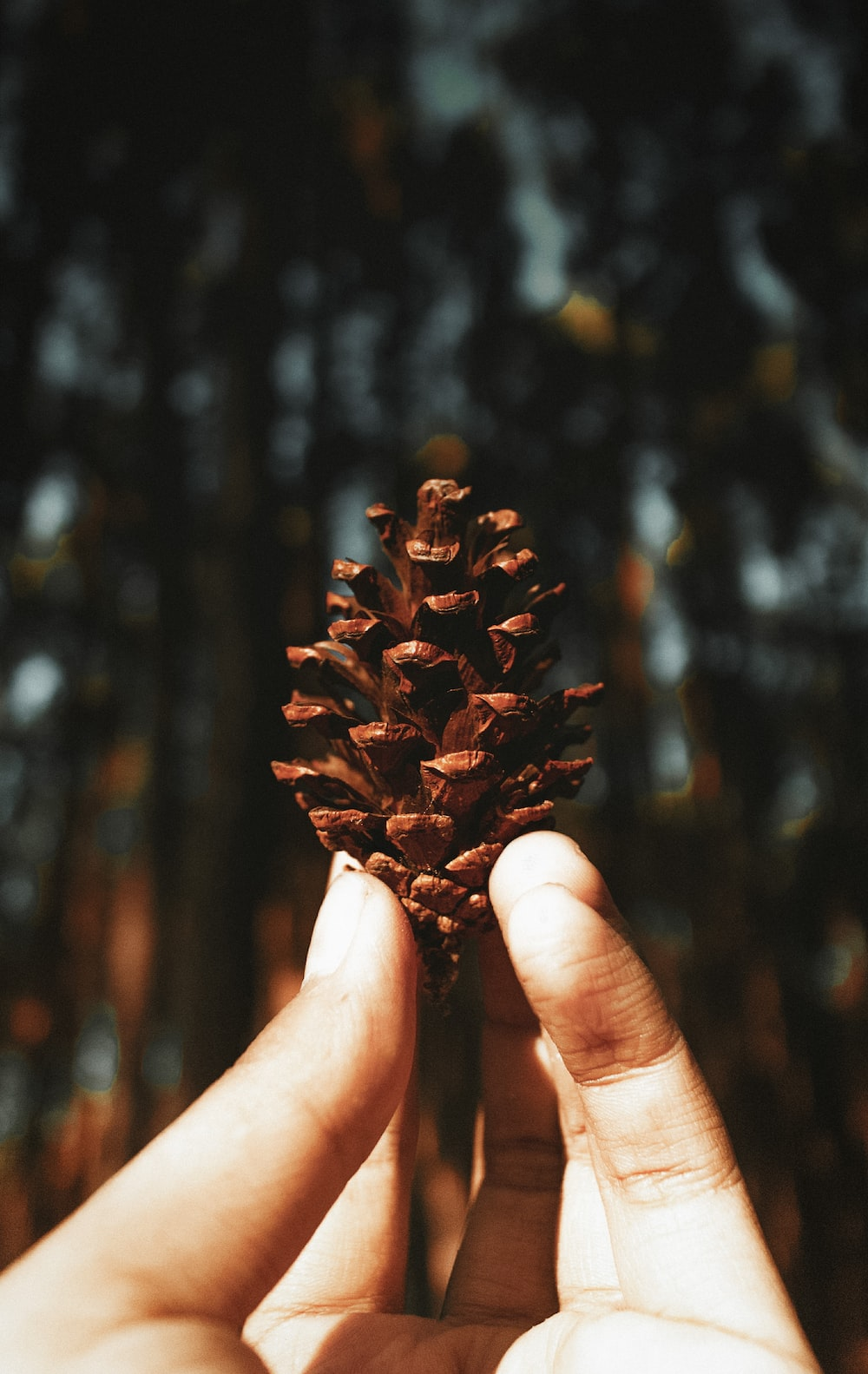 person holding brown pine cone