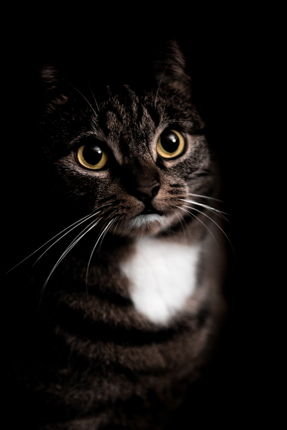 brown tabby cat in black background
