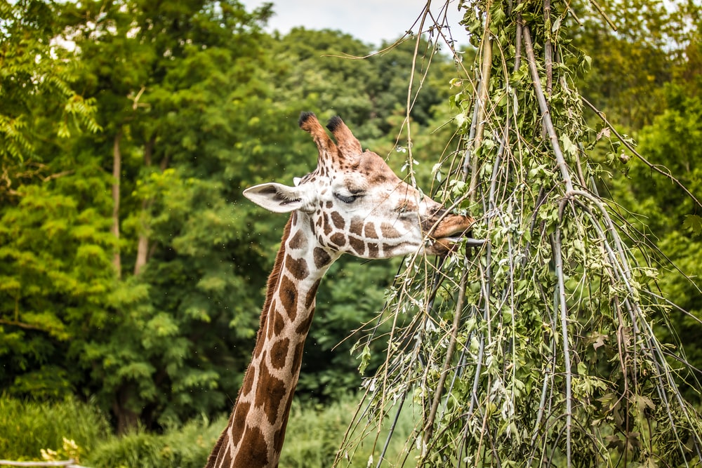 giraffe in the middle of green grass field during daytime