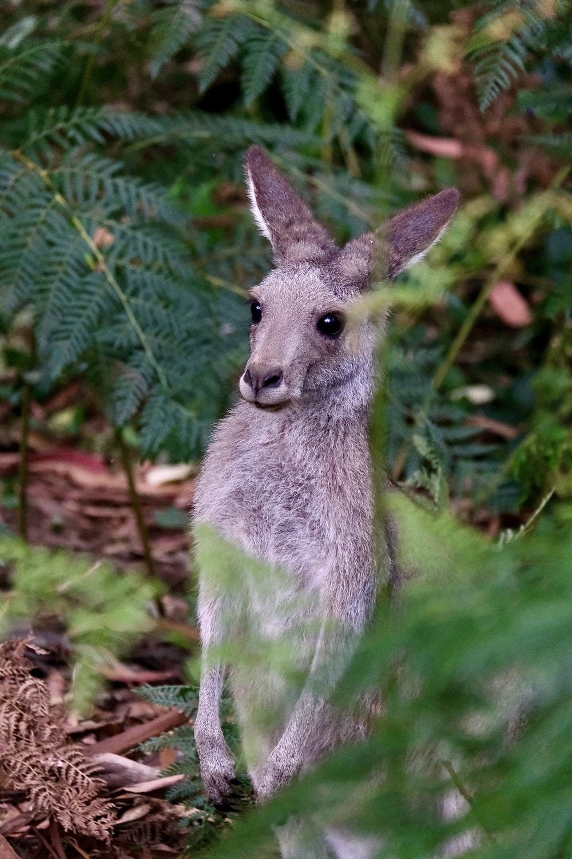 gray kangaroo on green grass during daytime