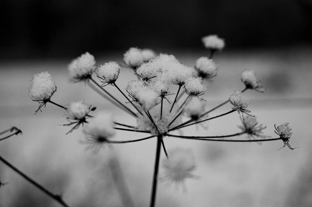grayscale photo of dandelion flower