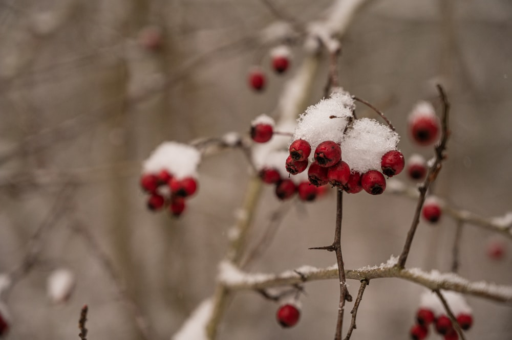 white and red flower buds
