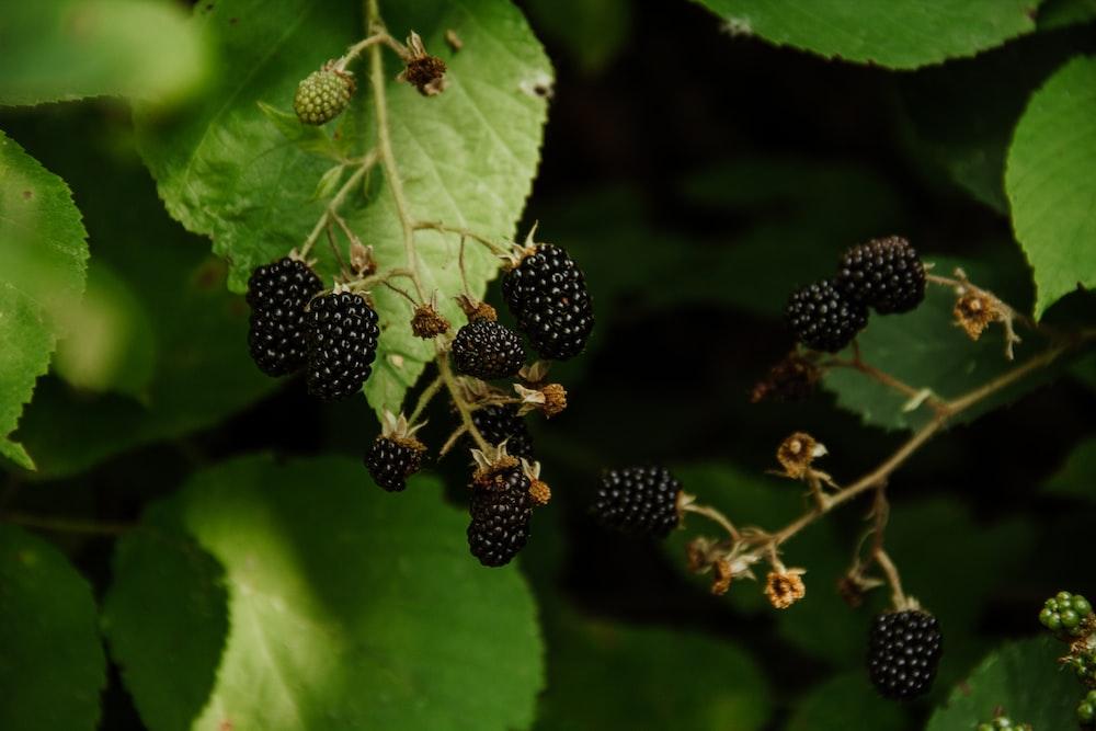 black round fruits on green leaf