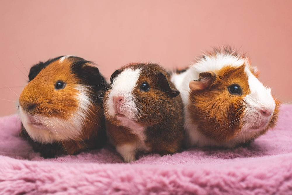 brown and white guinea pig on pink textile