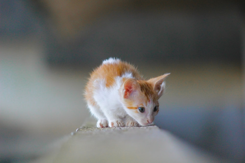 orange and white cat on brown wooden table