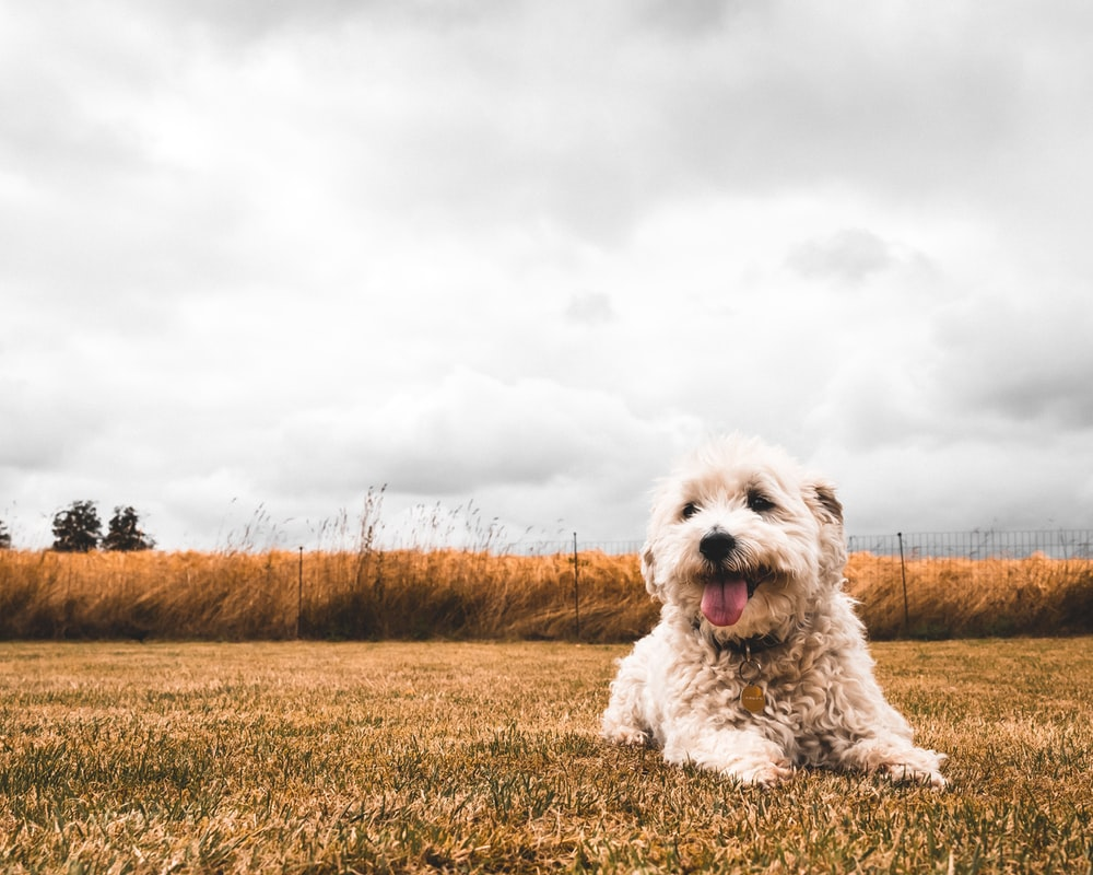 white long coated small dog on brown grass field under white clouds during daytime