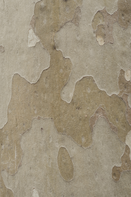 Camouflage pattern on a eucalyptus tree trunk
