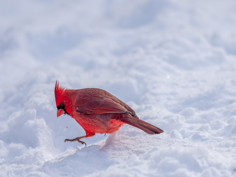 red and black bird on snow covered ground