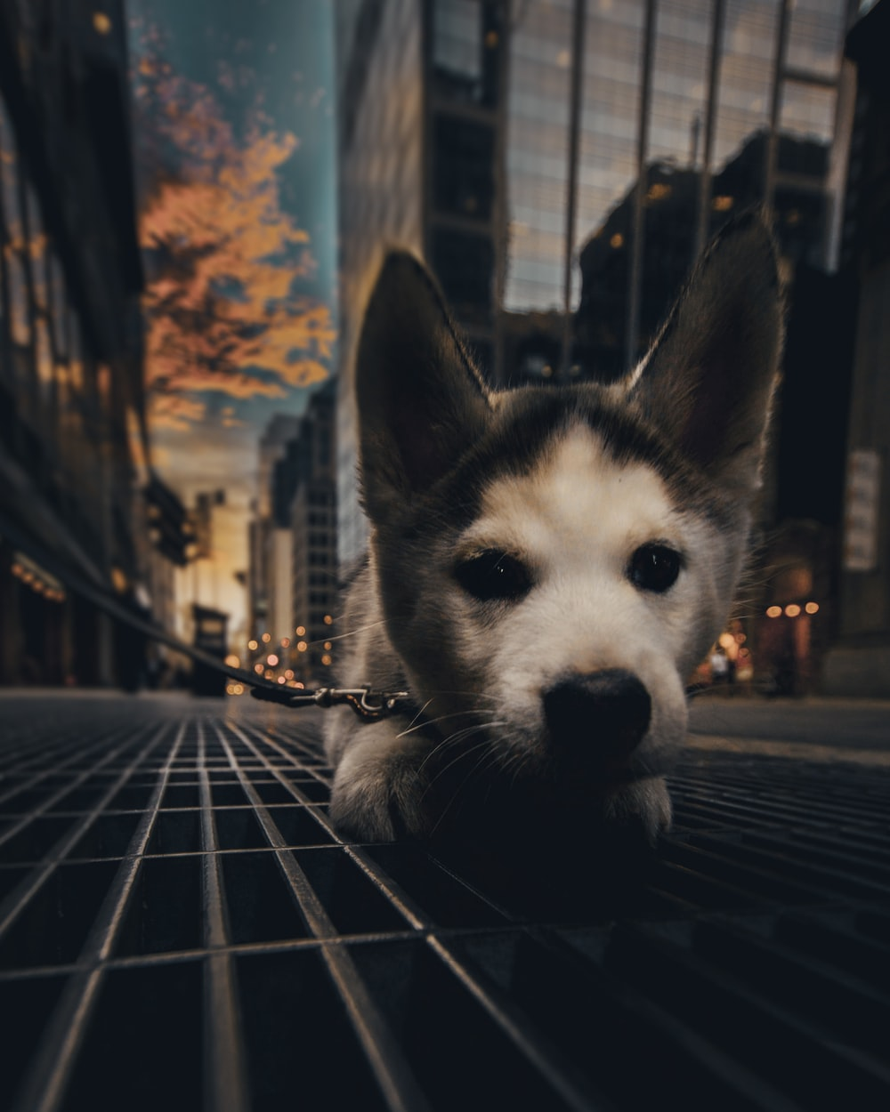 white and black siberian husky puppy on black metal fence during daytime