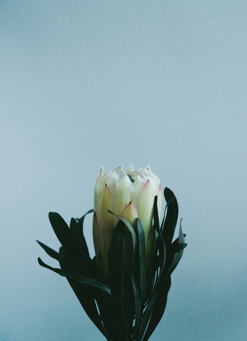 white and pink flower under gray sky