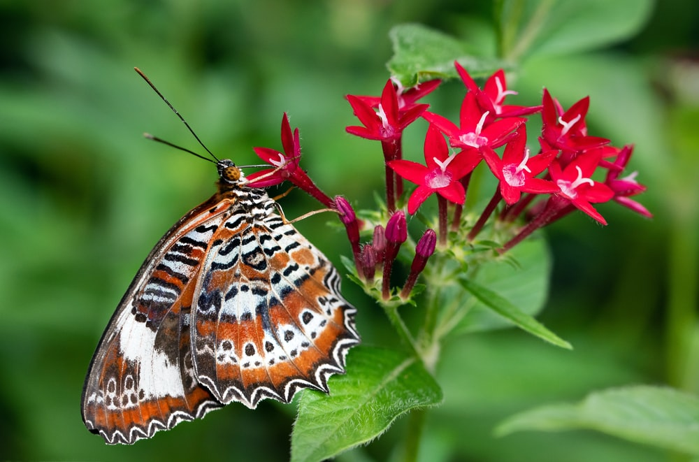 brown white and black butterfly on pink flower