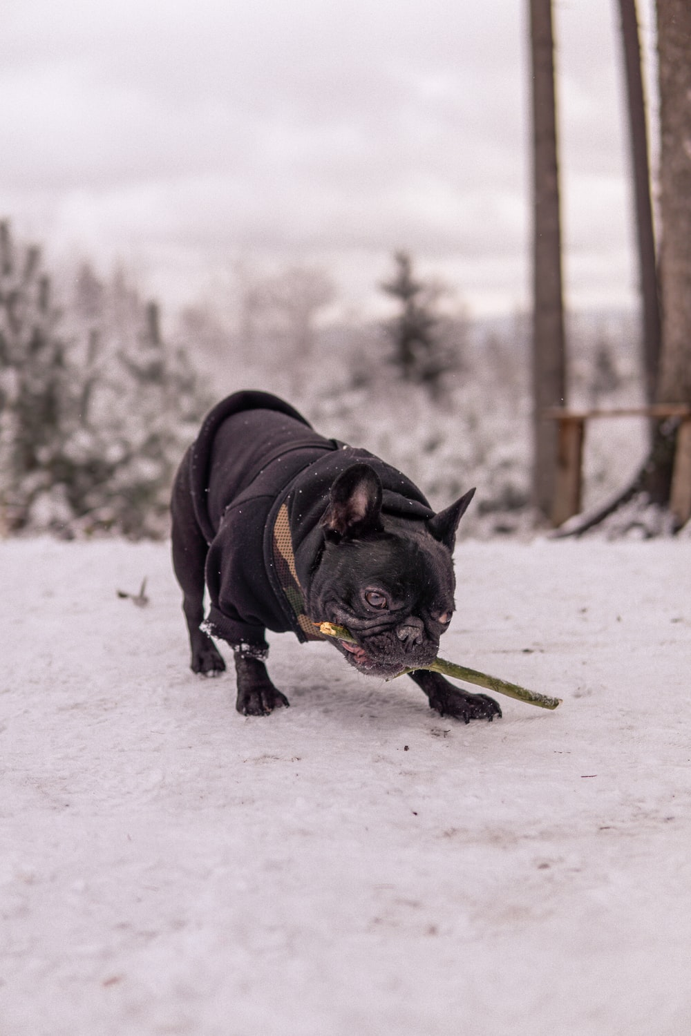 black pug on snow covered ground during daytime