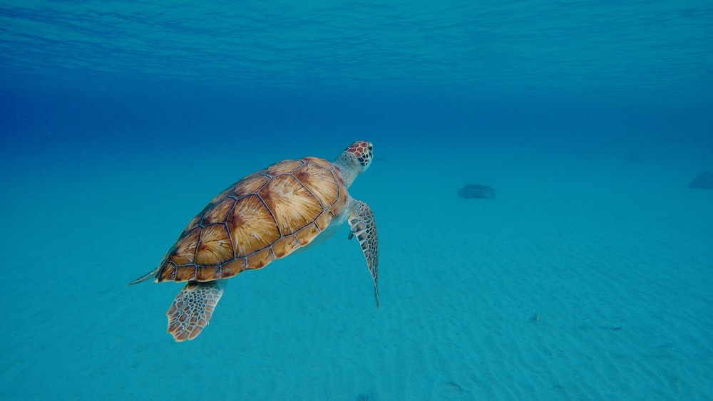 brown and black turtle in water