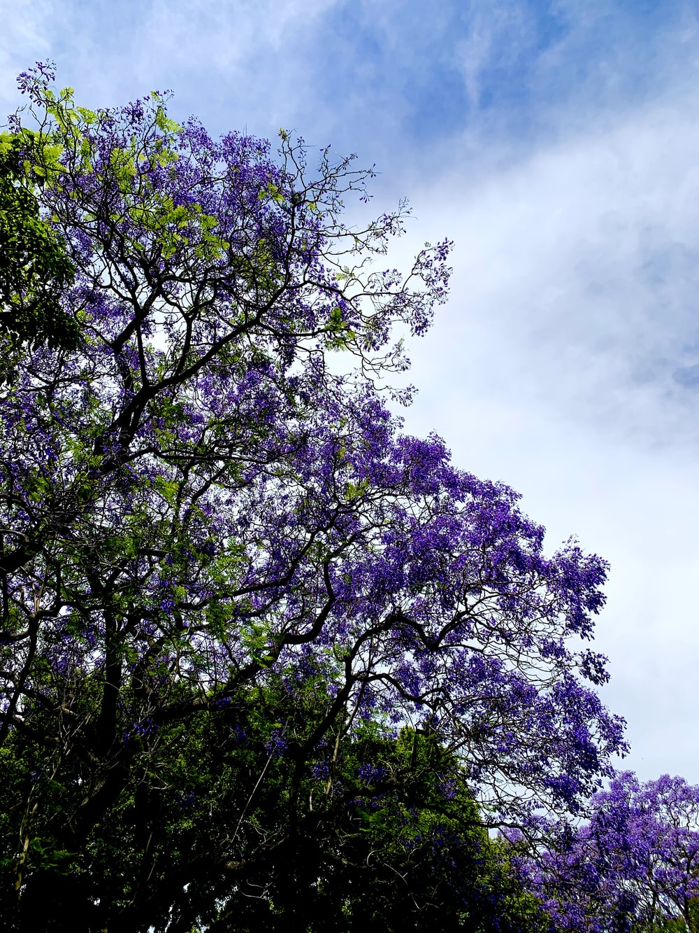 Jacaranda Trees Pictures Download Free Images On Unsplash