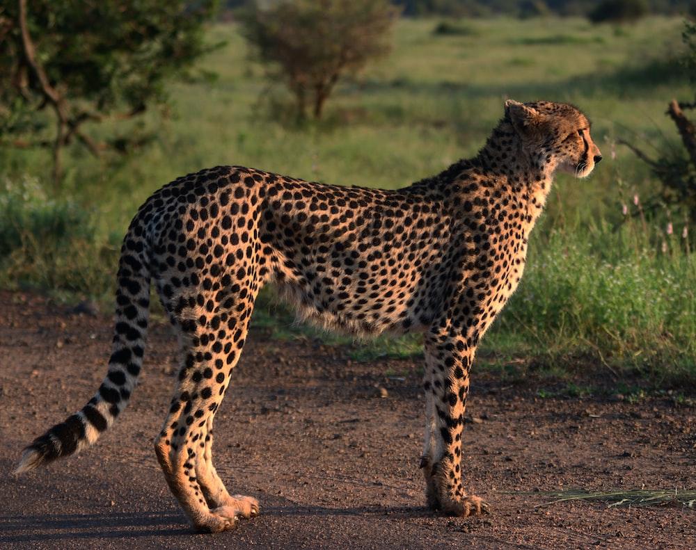 cheetah walking on dirt road during daytime