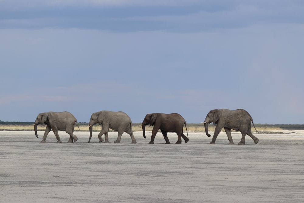 group of elephant walking on snow covered field during daytime