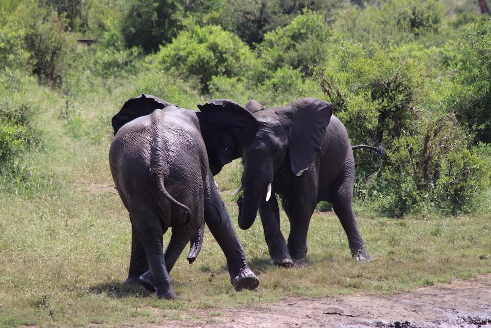 black elephant walking on green grass field during daytime
