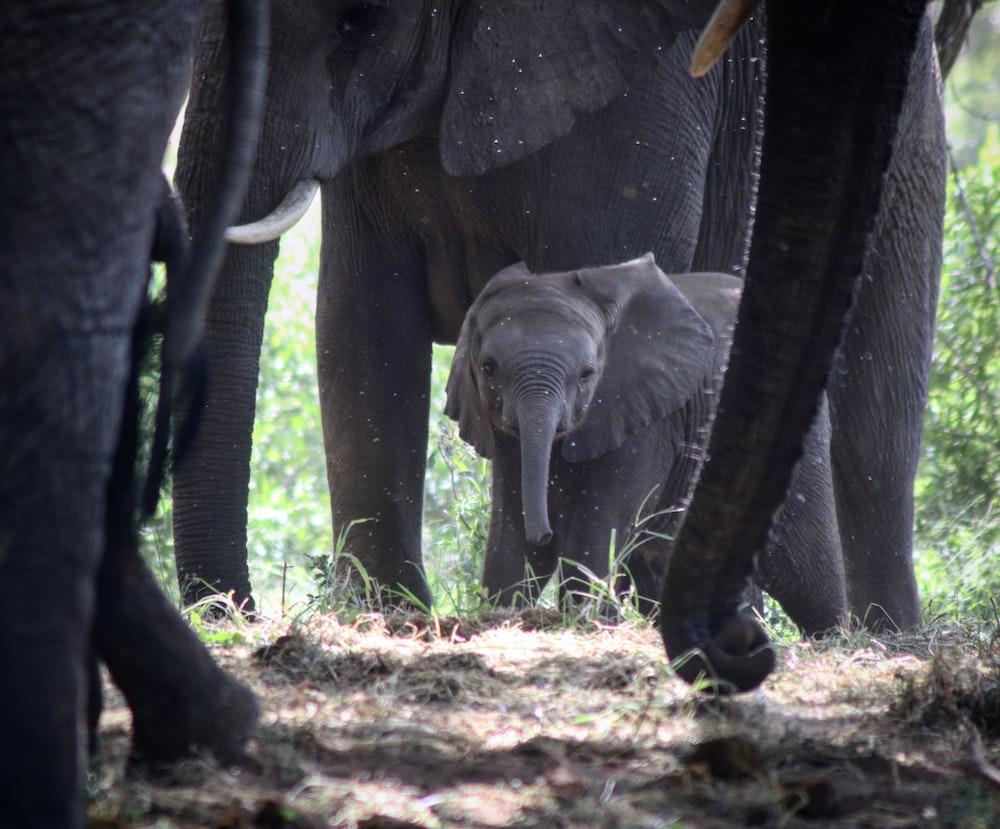 gray elephant walking on brown soil during daytime
