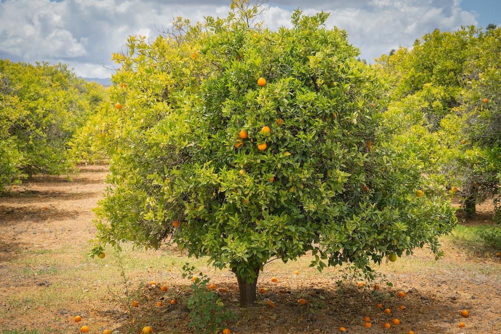 green tree with orange fruits during daytime