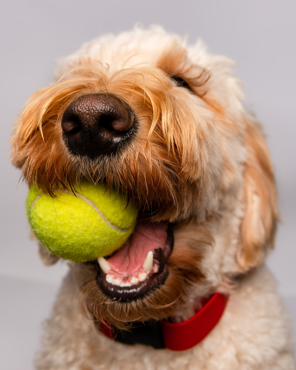 white and brown long coated dog playing tennis ball