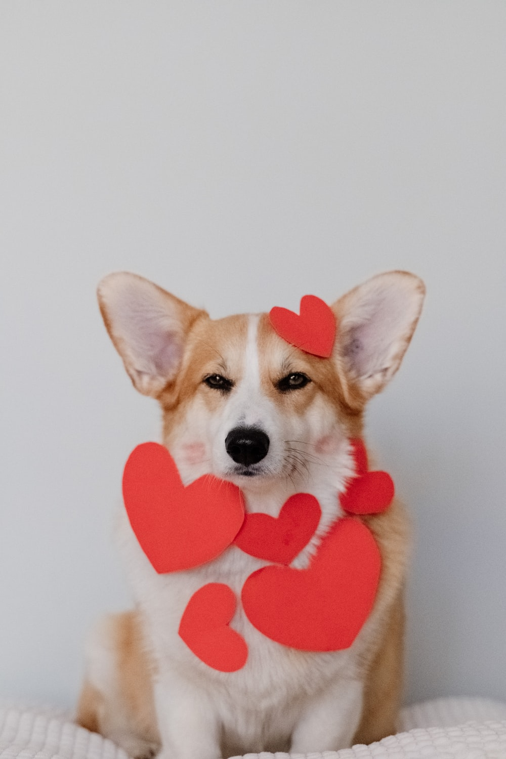 brown and white corgi wearing pink heart shaped hat
