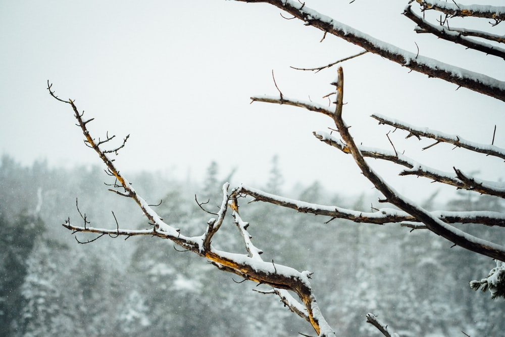 brown tree branch with snow