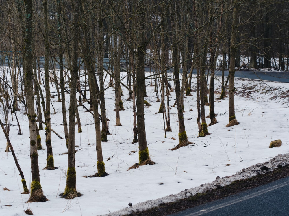 brown bare trees on snow covered ground during daytime