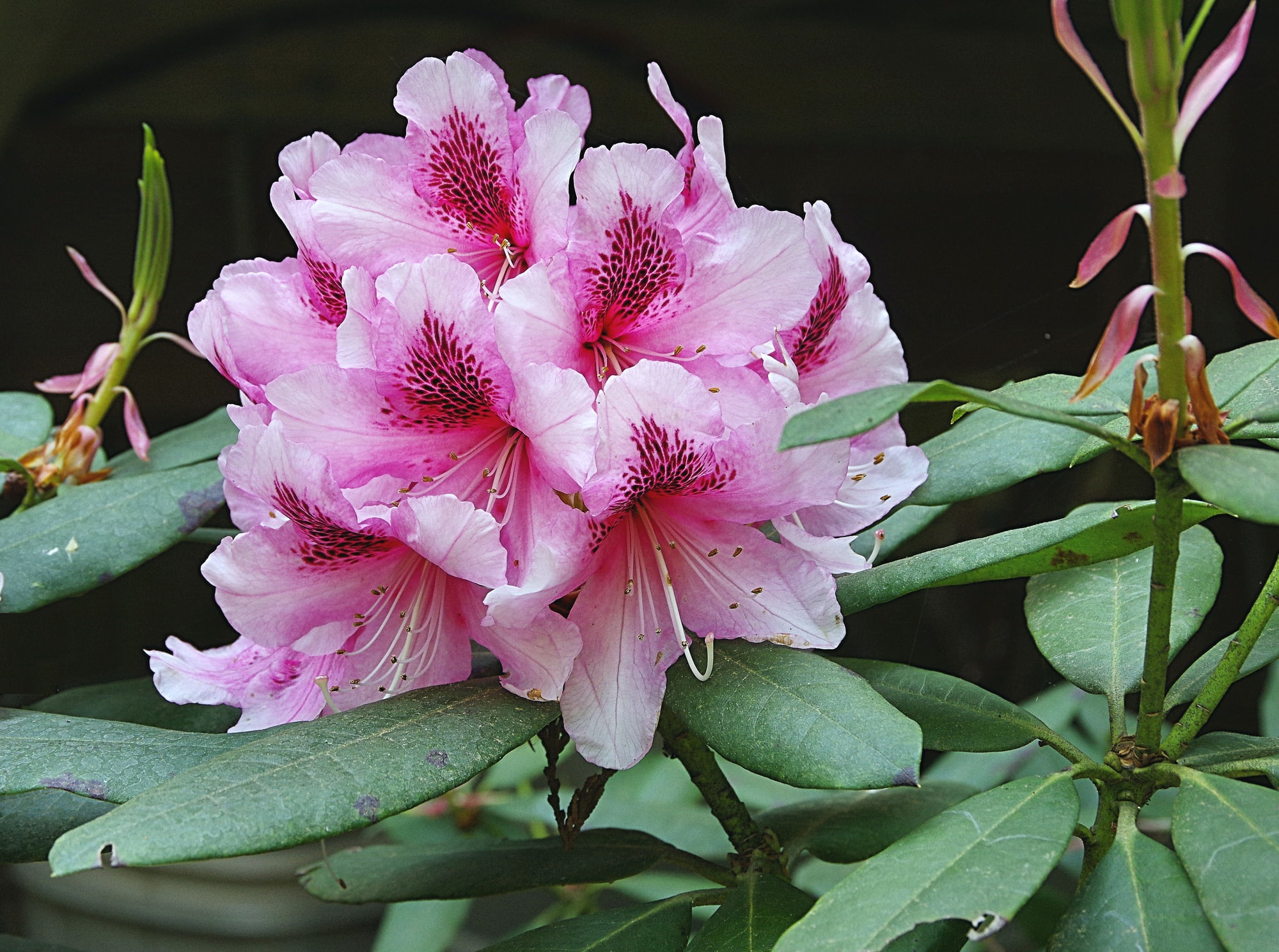 Rhododendron - Albert Schweitzer